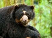 Urso-de-Óculos 1