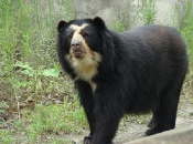 Urso-de-Óculos 4