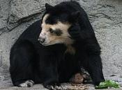 Urso-de-Óculos 6