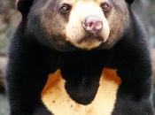 Urso Malaio 2