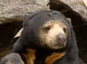 Urso Malaio 3