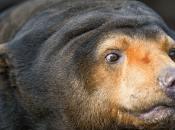 Urso Malaio 4