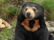 Urso Malaio 6