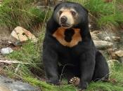 Urso-Malaio 4