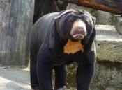 Urso-Malaio 5