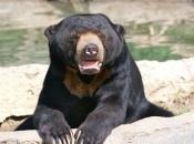 Urso-Malaio 6