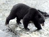 Urso-Negro Americano1