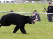 Urso-Negro Americano3
