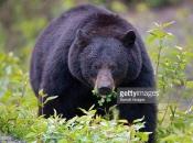 Urso-Negro Americano4