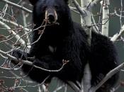 Urso-Negro Americano 4