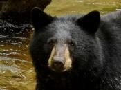 Urso-Negro Americano5