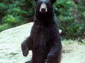 Urso-Negro Americano 5