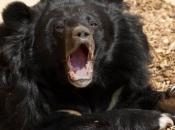 Urso-Negro Americano6