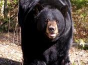 urso negro americano 2