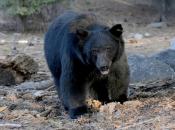 urso negro americano 3