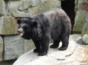 Urso-Negro Asiático1