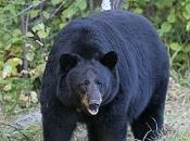 Urso-Negro Asiático5