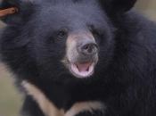 Urso-Negro Asiático6