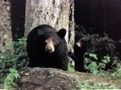 Urso-Negro Asiático2
