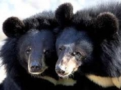 Urso-Negro Asiático3