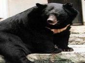Urso-Negro Asiático4