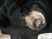 Urso-Negro Asiático7