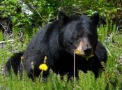 Urso Negro Comendo 1