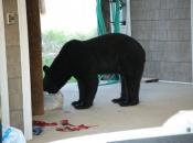 Urso Negro Comendo 2