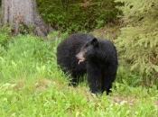Urso Negro Comendo 3