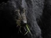 Urso Negro Comendo 4