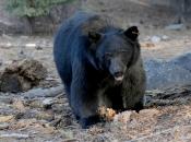Urso Negro Comendo 5