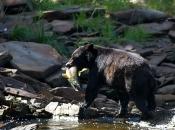 Urso Negro Comendo 6