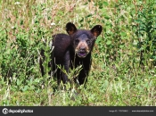 A small black bear cub calls out for its mother