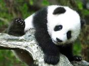 Urso-Panda 1