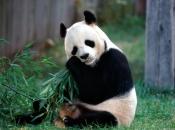 Urso-Panda 2