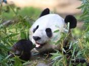 Urso-Panda 3