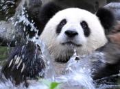 Urso-Panda 6
