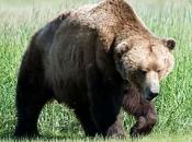 Urso-Pardo 1