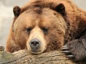 Urso Pardo 2