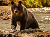 Urso-Pardo 3