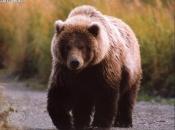 Urso Pardo 4