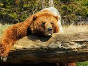 Urso-Pardo 4