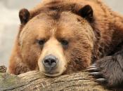 Urso-Pardo 5