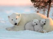 Urso-Polar2