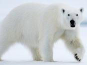 Urso-Polar3