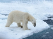 Urso Polar 5