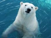 Urso-Polar5