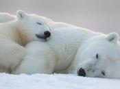Urso-Polar6