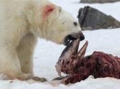 Urso Polar Comendo 1