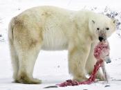 Urso Polar Comendo 2